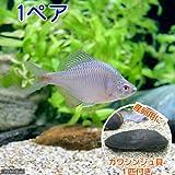 (淡水魚)タイリクバラタナゴ(1ペア)+カワシンジュ貝(1匹) 本州・四国限定[生体]