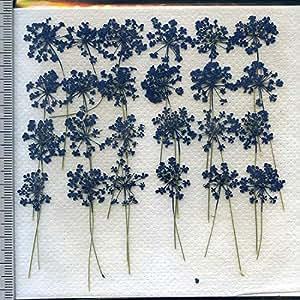 押し花パック 押し花素材材料 【レースフラワー】茎付きブルー、24本