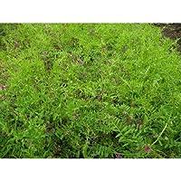 農業資材 緑肥 種子 【 ヘアリーベッチ まめ助 ( 雪印種苗 ) 1kg 】土づくり 土壌改良におすすめの資材♪