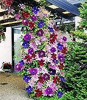 2ピース登山クレマチス種子クレマチスフロリダフラワーシード美しい多年生屋外開花種子用ホームガーデン:1