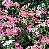 フロックス:シープ3~3.5号ポット 3株セット[可愛らしい花色] ノーブランド品