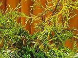 フィリフェラオーレア☆樹高20cm前後 たっぷり30本セット!ポッキリ一万円☆小さいサイズ ポット苗!グラウンドカバーに最適♪