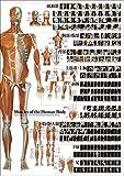 解剖ポスター 全身の骨格筋