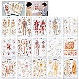 人体解剖学チャート(デスクサイズ) プラスチックバンジンタイカイボウガクチャート脊柱と椎骨の構造(11-2230-03-19) 自律神経系