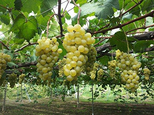 エーデルワイン かぐみ 白 720ml