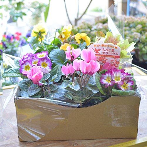 店長おまかせ 季節の花苗8個セット ガーデニング 園芸 寄せ植え