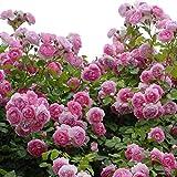 バラ苗 ジャスミーナ 国産大苗6号スリット鉢 つるバラ(CL) 返り咲き ピンク系