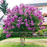 100本クレープマートル - サルスベリインディカ'ナチェズ'ホーム園芸植物のための多年生の花の中庭木本植物盆栽ツリー:3