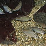 タイリクバラタナゴ Lサイズ 10匹 4cm~6cm前後 タナゴ  淡水魚