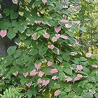 Actinidia Kolomikta - 50種子 - Kolomikta多彩なキウイのつる
