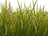 秋田県産 玄米 あきたこまち 5kg 平成29年産 画像