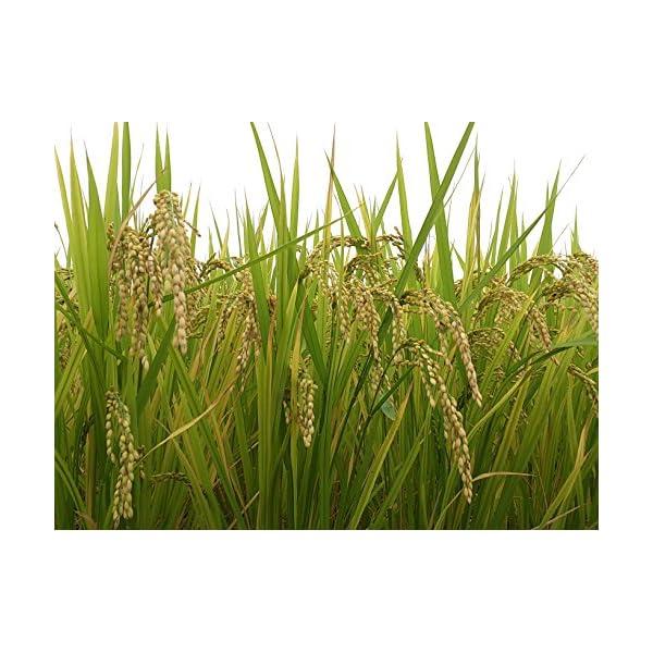【精米】新潟県 北越後産 特別栽培米 白米 ...の紹介画像10