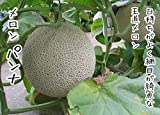 【てしまの苗】接木メロン/パンナ   9cmポット