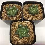多肉植物:ハオルチア オブツーサ キャッツアイ