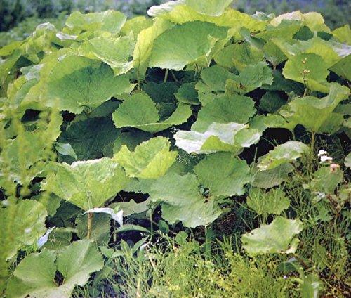 ド田舎直産 天然山菜 山ふき(蕗の棒 大小詰め) 1kg
