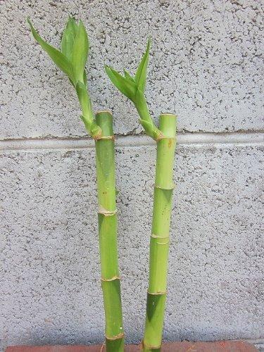 水耕栽培 苗 バンブー(ミドル) 2本セット