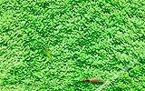 キューバパールグラス 5cm*5cm  無農薬 前景草