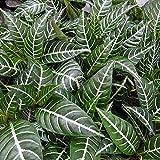 アフェランドラ・トロピコ3号ポット 2株セット[濃緑葉に白の葉脈が涼し気な観葉植物]
