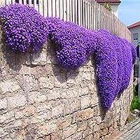 ホワイトタイム:タイム種子やブルーROCKクレス種子を忍び寄る花の種 - 多年生グランドコ