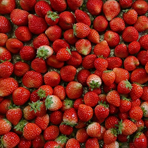 (訳あり)良食味の新しい夏秋イチゴ(秋田県産なつあかり)1kg(市販4pc分) 無選別品詰め合わせ