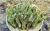 【国産 天然】山菜の王様 たらの芽 300g 採りたてを産直。☆ミシュラン3つ星御用達店☆天ぷらに最適