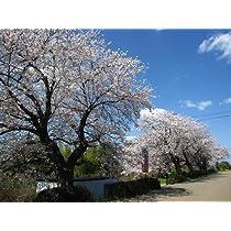 【木曜日発送】桜/ソメイヨシノ 樹高2.5m前後