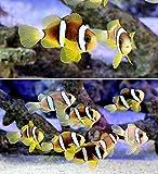(海水魚)ナミクマノミ ブリード(2匹)+サンゴイソギンチャクMサイズ(1匹) 本州・四国限定[生体]