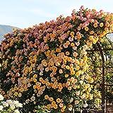 バラ苗 サハラ'98 国産新苗植え替え6号スリット鉢 つるバラ(CL) 四季咲き 黄色系