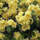 モッコウバラ:黄花3~3.5号ポット3株セット ノーブランド品