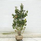 庭木:ソヨゴ/そよご(株立ち)(雌株)* 樹高:約120cm 全高:約140cm 現品限りの特選品!ヤマト便大型商品