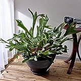 観葉植物「コウモリラン・ジャパネスク」 インテリアグリーン 日比谷花壇