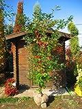 どんぐりの木☆ コナラ 株立ち!!樹高2.5m前後 紅葉も綺麗な木です♪