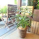 観音竹 カンノンチク 7号鉢サイズ 鉢植え