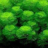 (水草)カボンバ 金魚藻メダカ 国産 カモンバ 無農薬
