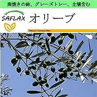 SAFLAX - Garden to Go - オリーブ - 20 個の種。- 素焼きの鉢、グレーズトレー、鉢植え用土壌、肥料を含みます - Olea europea