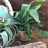 コウモリラン ビカクシダ 観葉植物