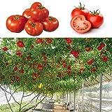 家庭菜園のための100個/袋トマトの木の種子イタリア珍しい野菜の種