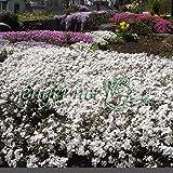 芝桜(シバザクラ):カルビデスホワイト3号ポット40株セット