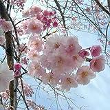 桜[サクラ・エドヒガン系]:八重紅枝垂れ[ヤエベニシダレ]接木苗4〜5号ポット / 園芸ネット