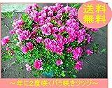 珍しい四季咲きツツジがこのボリューム! 特大6号(18cmポット)