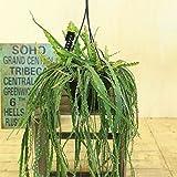 観葉植物:レピスミウム クルシフォルメ*吊り鉢