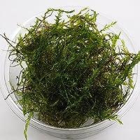 (水草)国産 ウィローモス 1カップ 約10g(無農薬) メダカ 金魚藻