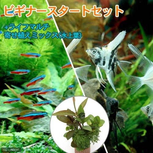 charm(チャーム) (熱帯魚 水草) ビギナースタートセット カージナルテトラ(10匹) +ミックスエンゼルフィッシュ Sサイズ(2匹) 【生体】