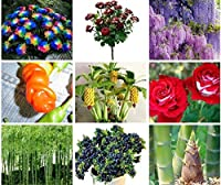 種子:紫藤の花:ジャイアントフルーツブルーベリーバナナの種、レア菊ペッパー種子ツリー