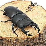 (昆虫) 国産オオクワガタ 産地累代数不明 成虫 65~69mm(1ペア) 本州・四国限定[生体]