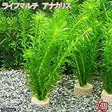(水草)メダカ・金魚藻 ライフマルチ(茶) アナカリス(2個) 本州・四国限定[生体]