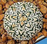 タイムリミット!!多肉植物の種子Echinopsis tubiflora、サボテンの種、希少な花サボテン、約100個/パック、#の2QEBZE