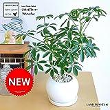LAND PLANTS シェフレラ「カポック」 白色丸陶器鉢