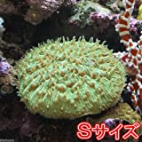 (海水魚 サンゴ)クサビライシ グリーン Sサイズ(1個) 本州・四国限定[生体]
