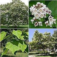 発芽SEEDS:100種:南キササゲ属の木の種子、キササゲ属Bignonioides